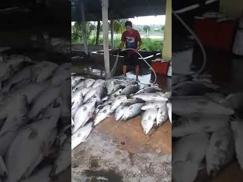 Ikan siakap di kolam pancing acun