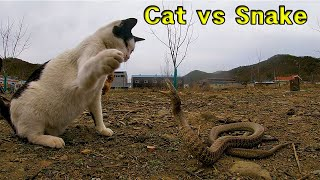 #108. Cats who do not like to hunt fight viper. (# snake)