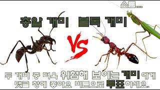 불독개미 vs 총알개미 둘 중 더 위험한 개미는? 불독개미vs거미