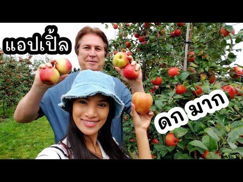 แอปเปิ้ลในสวน ดกมากๆๆๆๆๆ รสชาติดี หอม กรอบ /เก็บแอปเปิ้ล ฮันนี่คริปส์ Honeycrisp/ชีวิตในอเมริกา