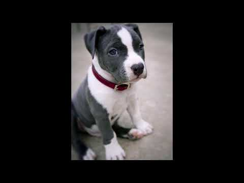 world's cutest pitbull puppies