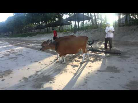 BALI - COWS CLEANING THE BEACH