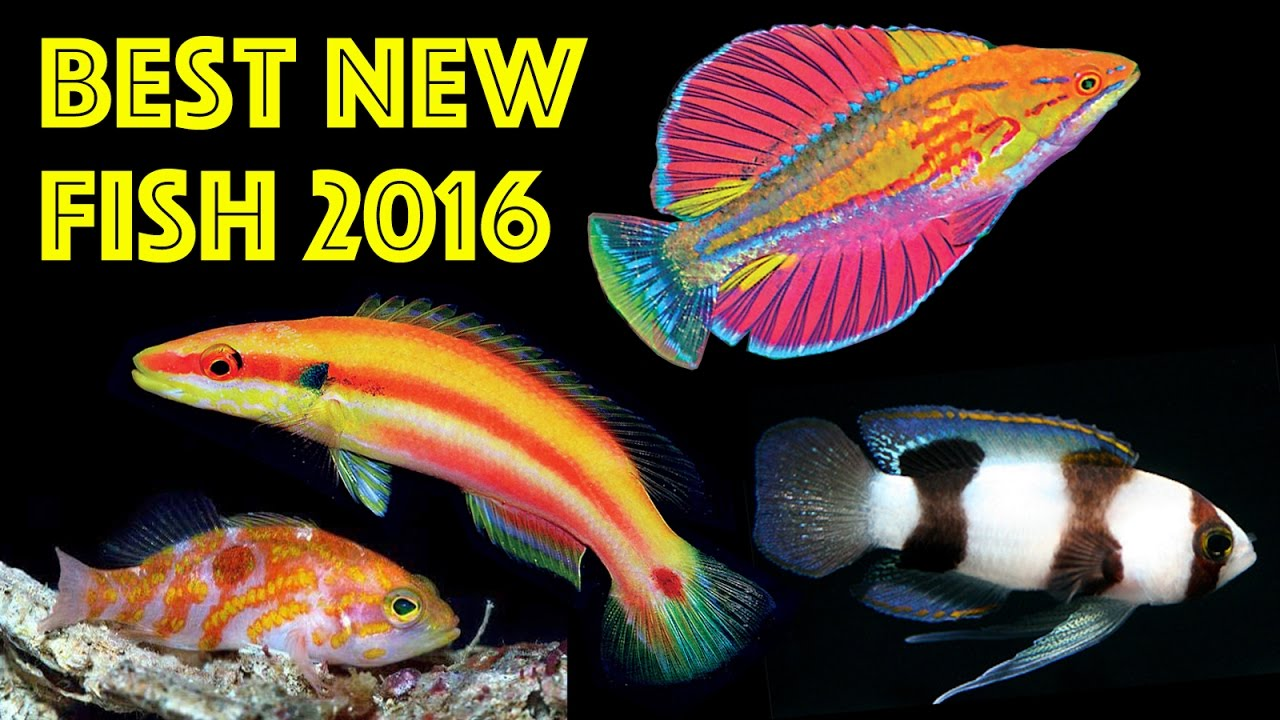Top 10 best new aquarium fish species of 2016 youtube for Where to buy saltwater fish