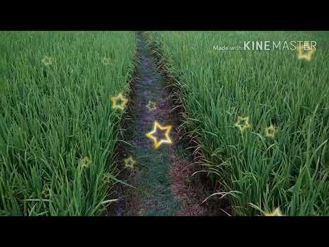 Paddy SRI Drum Seeding Method/ Direct Seeding Method