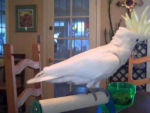 cockatoo dancing whip your hair