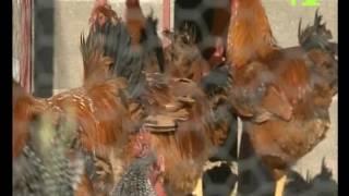Pollos de Corral Bernardo