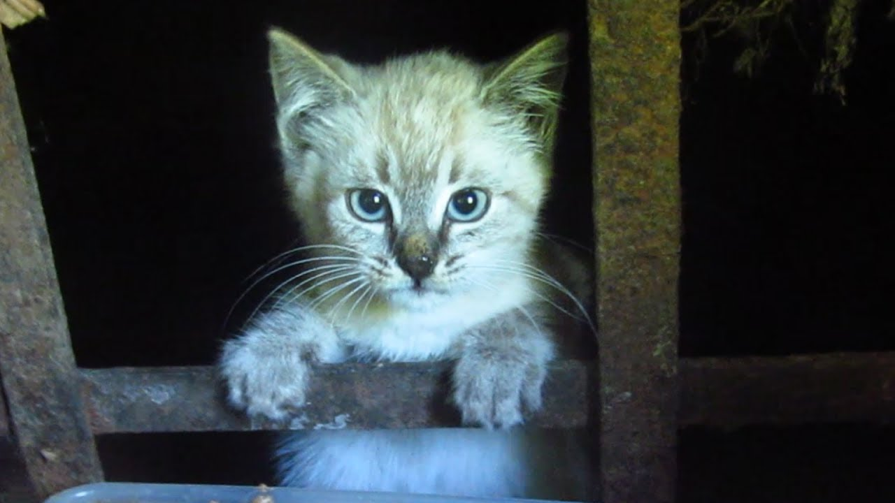 the kitten The cat fanciers' association announces most popular breeds for 2017 busy cat owners who like the look of a persian, but don't have time for daily grooming sessions, have made the exotic the most popular cat breed again, according to the cat fanciers' association (cfa) registration statistics.