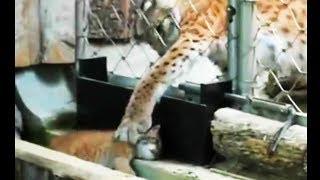 母猫パニック!身体が小さすぎて、動物園のケージの外に出てしまったヤマネコの赤ちゃん
