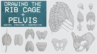 Drawing The RIB CAGE & PELVIS - Anatomy, Structure & Construction - Anatomy 3