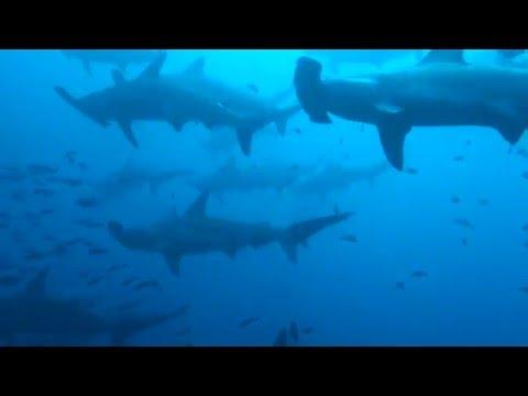 Hammerhead shark school, Galapagos
