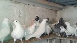 Бойные голуби декабрь 2016г.