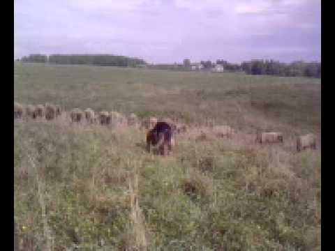 овчарка пасет овец