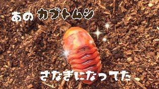 カブトムシを幼虫から100匹にまで増やすプロジェクト ウン十年ぶりに...