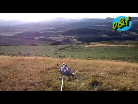 Jack Russell Terrier Rolling Lake District UK