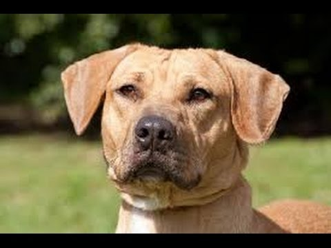 Black Mouth Cur / Dog Breed
