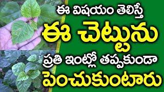 మందారం ఆకులతో ఇలా చేస్తే.. I Mandaram Chettu Uses in Telugu I Hibiscus Tree I Everything in Telugu