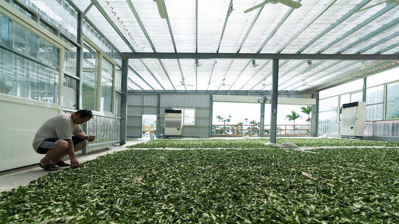 [沖縄台湾#6] Alishan Coffee Farm & Tea Farm // 阿里山珈琲と阿里山のお茶工場