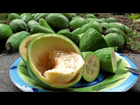 Feijoas - (Pineapple Guava) Plants & Fruit.
