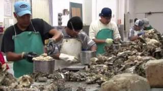Ekone Oyster
