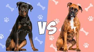 Rottweiler vs Boxer en ESPAÑOL  Quien gana?