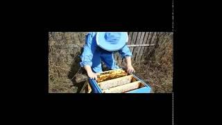 Зимовка Бакфаст, пересадка, работаем без дымаря, пополнение кормов.