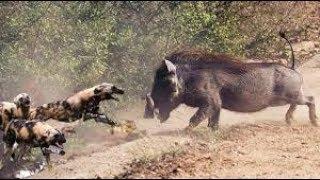 들개 vs 멧돼지 엄청난 싸움! Wild dog vs Warthog Real Fight!