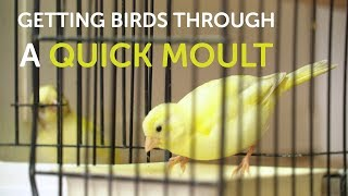How To Get Birds Through a Quick Moult | The Canary Room Top Tips