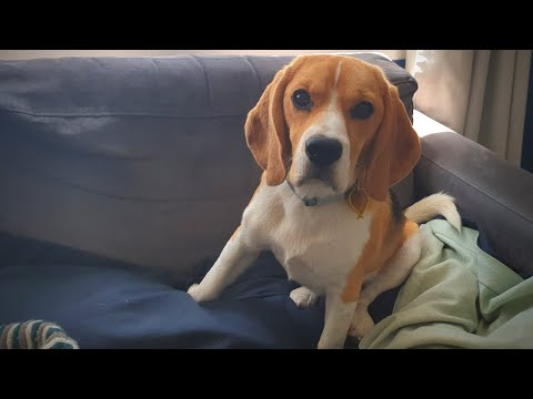 Cute beagle puppy watches 'Oliver the Beagle'