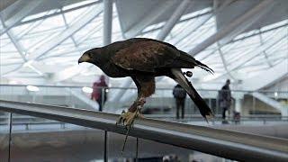 Хищные птицы отпугивают лондонских голубей (новости)