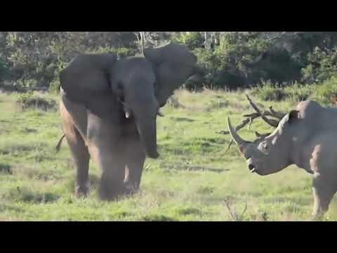 СЛОН В ДЕЛЕ! Слон против носорога, львов, крокодила, бегемота