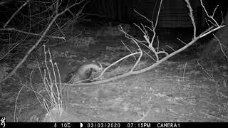 MARCH: boar 'blocking' own sett with sticks!
