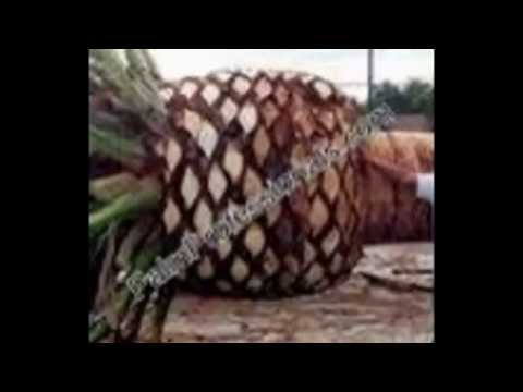 Houston Canary Island Date Palms For Sale And Installed. Date Palm Trees In Houston Texas For Sale