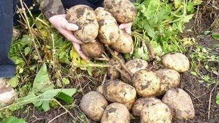 Картофель в соломе, в сфагнуме (мох) и в коробе(Где взять мульчу весной - http://youtu.be/MvXULR3deTU Potato plant under straw, under sphagnum (moss) & Planting Potatoes - in old tires Я посадил клубни ..., 2012-09-10T09:42:10.000Z)