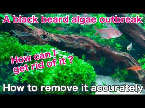 How To Kill Black Algae 「aquarium Algae Problem⑤」ada,tropical Fish,fresh Water  Techniques