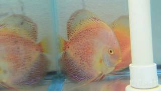 Snow Leopard Snakeskin Discus Possible Pair