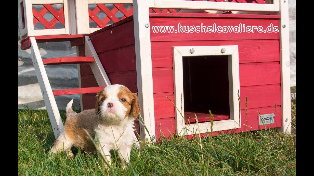 1034c63645 Cavalier King Charles Spaniel Puppies - YouTube