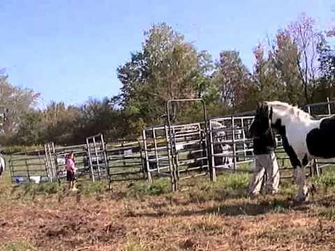 Wild Feathered Drum Horses Running