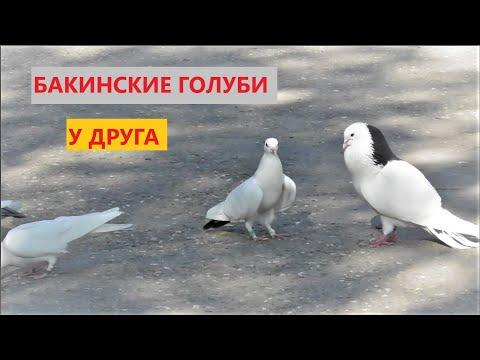 Бакинские голуби у друга в Москве