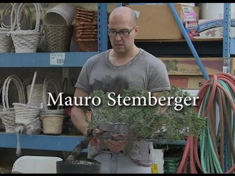 Mauro Stemberger Styling a Rocky Mountain Juniper Bonsai Wed. May 29 2015