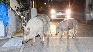 六甲山の山裾に広がる神戸市の市街地で、野生のイノシシの出没が問題と...