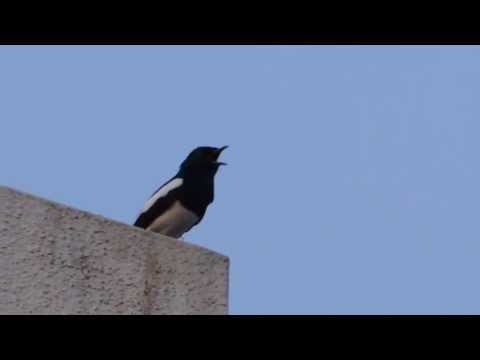 Oriental magpie robin jumping back and running