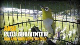Video BRANDY WATCH : Aksi Pleci Auriventer Gacor Milik Fahrudin Malang di KOPDARNAS 3 Tanah Lot Bali download MP3, 3GP, MP4, WEBM, AVI, FLV Agustus 2018