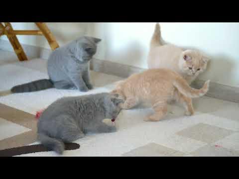 Милые британские котята (Litters М2 +N2)