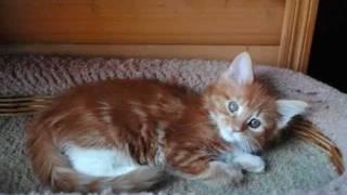 Котята Мейн кун из Питомника кошек Мейкун Christmas Yard