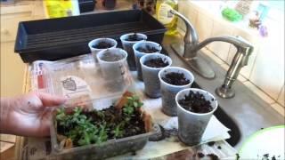Transplanting Lavender
