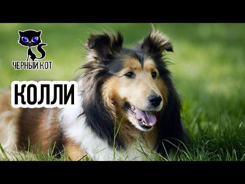 ✔ Колли собака с роскошной шерстью и внешностью английских аристократов