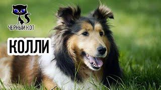 Колли / Интересные факты о собаках