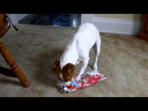 A Jack Russell Christmas!
