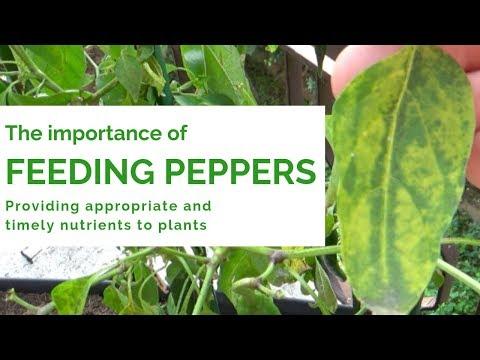 Importance of Feeding Pepper Plants