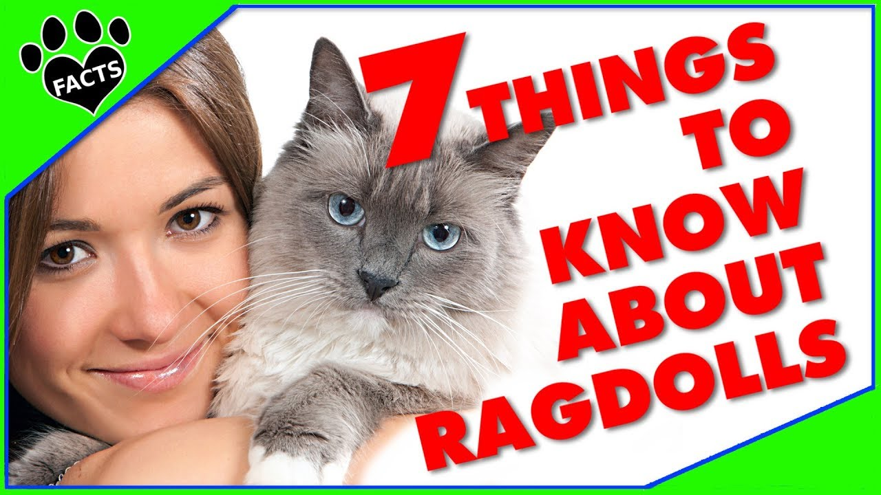 7 Things to Know About Owning a Ragdoll Cat Cats 101 - Animal Facts
